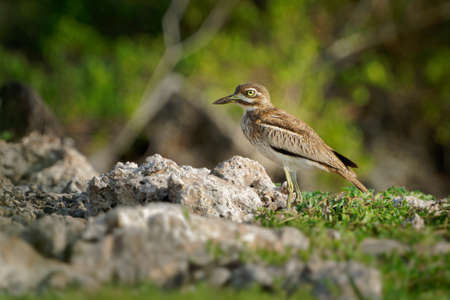 Water Thick-knee - Burhinus vermiculatus or water dikkop. bird in the thick-knee family Burhinidae, found across sub-Saharan Africa close to water, pied brown and white bird on the rocky coastline.