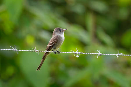 Western Wood-pewee - Contopus sordidulus small tyrant flycatcher. Adults are gray-olive on the upperparts with light underparts, washed with olive on the breast. Standard-Bild