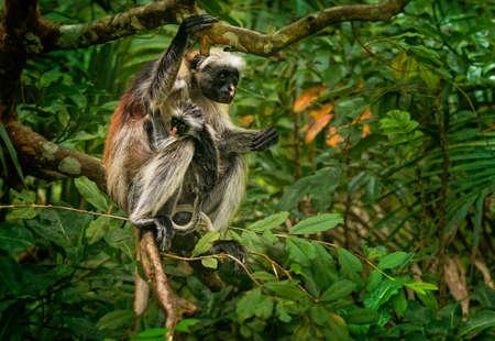 Zanzibar Red Colobus - Piliocolobus kirkii monkey endemic to Unguja, main island of Zanzibar Archipelago, off the coast of Tanzania, also known as Kirks red colobus, young child in the bush.