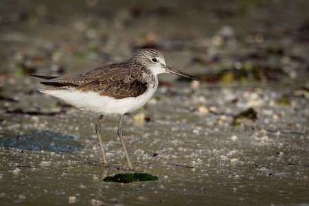 Common Greenshank - Tringa nebularia is a wader in family Scolopacidae, typical waders, black and brown and white bird of shore, migrating from Europe tu Africa, on sandy beach. Standard-Bild