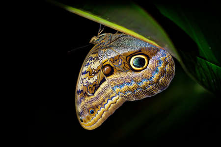 Forest Giant Owl - Caligo eurilochus butterfly (tribe Brassolini of subfamily Morphinae), from Mexico through Central America to Amazon River in South America, very large butterfly in the night.