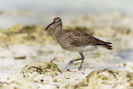 Whimbrel - Numenius phaeopus wading bird with long beak standing and feeding on the low tide on the sandy beach with waves in the background. Blue ocean and the african coastline.