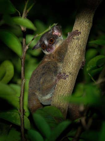 Zanzibar bushbaby, Matundu dwarf galago, Udzungwa bushbaby or Zanzibar galago - Paragalago zanzibaricus, primate of the family Galagidae, small cute nocturnal monkey.