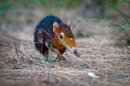 Black and rufous elephant shrew -Rhynchocyon petersi or sengi or Zanj elephant shrew, found only in Africa, native to the lowland montane and dense forests of Kenya and Tanzania. Standard-Bild