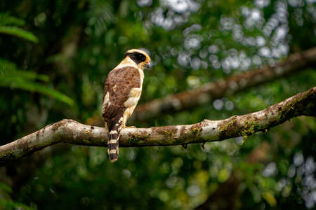 Laughing Falcon - Herpetotheres cachinnans also snake hawk, bird of prey in the falcon family Falconidae, neotropical species is specialist snake-eater, brown and yellow perching bird.