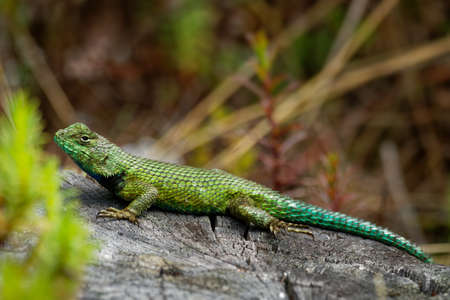 Emerald swift or green spiny lizard - Sceloporus malachiticus, species of small lizard in the Phrynosomatidae family, native to Central America, lying on the stone or wood, green tail. Standard-Bild