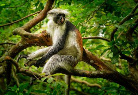 Zanzibar Red Colobus - Piliocolobus kirkii monkey endemic to Unguja, main island of Zanzibar Archipelago, off the coast of Tanzania, also known as Kirks red colobus, climbing and hanging.