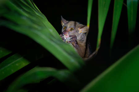 Northern Greater Galago - Otolemur garnettii also Garnett greater galago or Small-eared Greater Galago, nocturnal, arboreal primate endemic to Africa, eared cute brown small monkey. Standard-Bild
