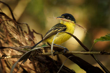 Common Tody-flycatcher - Todirostrum cinereum small black and yellow passerine bird in the tyrant flycatcher family building the nest, southern Mexico to northwestern Peru, Bolivia and southern Brazil.