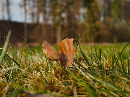 Beech leaf in grass, macro foto autumn 免版税图像
