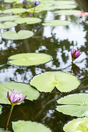 Lotus flowers, Koh Tao, Thailand