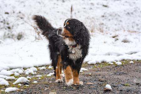 Beautiful San Bernardo dog in the first autumn snows in Bordes de Envalira, Canillo, Andorra. Stock Photo