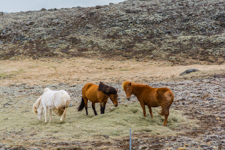 Horses in the countryside in Iceland in winter