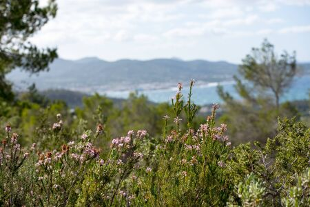Mediterranean flora with the Panoramic View of the city of Sant Antoni de Portmany in Ibiza, Spain