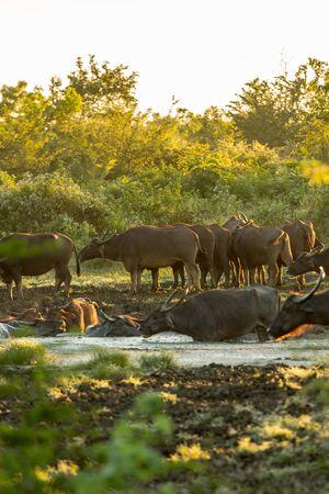 Water buffalo in the Udawalawe National Park on Sri Lanka.