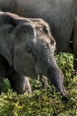 Herds of Elephants in the Udawalawe National Park on Sri Lanka.