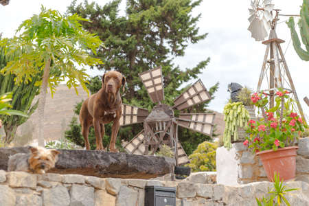 Betancuria, Fuerteventura, Spain: 2020 October 6: Canarian Dog in Bentancuria on the island of Fuerteventura in Spain in summer.