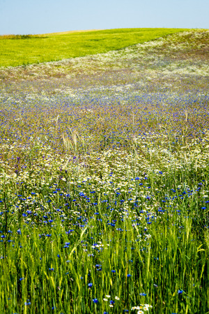 sunny meadow with cornflowers and daisies in summer at countryside