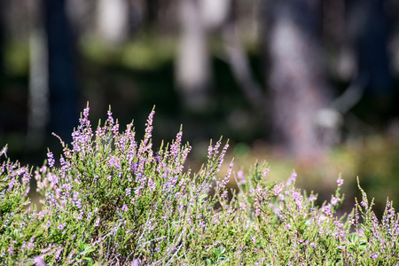 Autumn heather with bokeh blurred Stock Photo