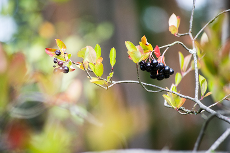 black berries on a bed of green bush with flowers and tree branches