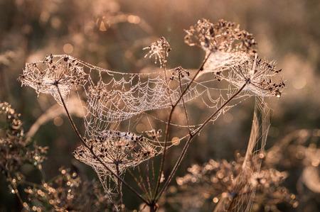 spiderweb: Beautiful spiderweb with dew drops in autumn