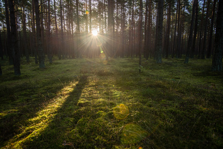 resplandor: Misty morning in the woods. forest with tree trunks, sun and rays of light Foto de archivo
