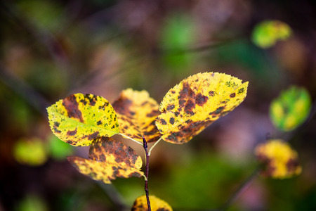 hojas antiguas: autumn colored old leaves on blur background  in wet forest