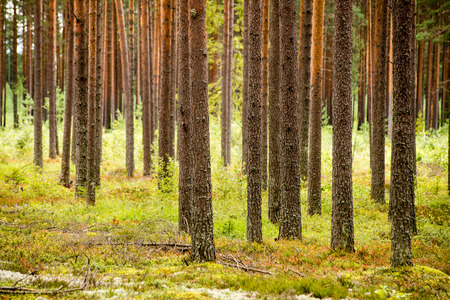 Misty morning in the woods. forest with tree trunks, sun and rays of light Stock Photo