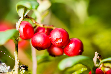 cranberries on green background in wet forest