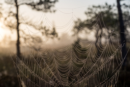 animal trap: Beautiful spiderweb with dew drops in autumn