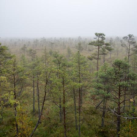 bog: bog landscape with trees in swamp and mist Stock Photo
