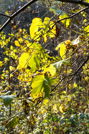 eberesche: autumn gold colored leaves in bright sunlight in forest