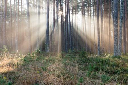 안개 낀 아침 나무를 통해 포리스트의 아름다운 빛의 광선
