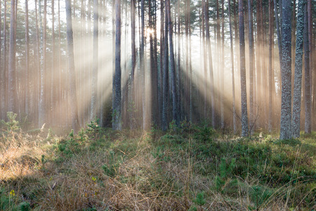 beautiful light beams in forest through trees in misty morning