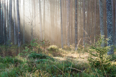 beautiful light beams in forest through trees in misty morning Stock Photo