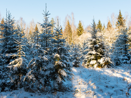 snowy winter trees on bright blue sky background