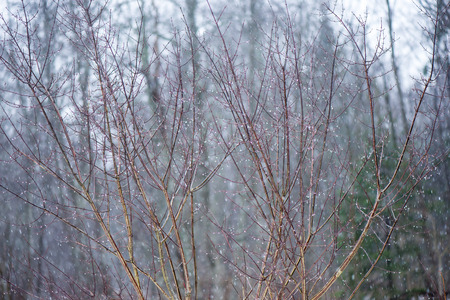 wet tree branches in winter forest with water drops and blurred background