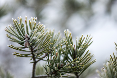 pine tree branch closeup with blur background in frosty winter morning Stock Photo