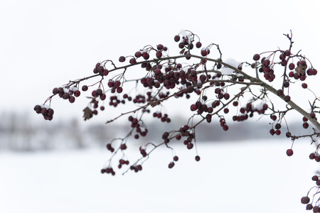 hoary: frozen abstract tree branches and plants in winter snow