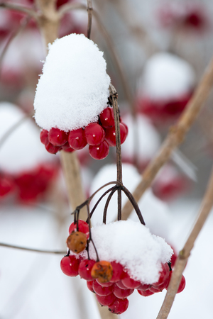 hoary: red berries in the snow with frost and blur background