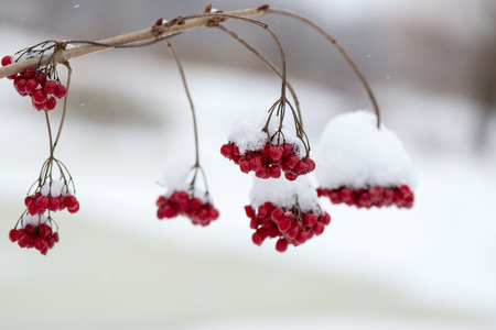 sopel lodu: red berries in the snow with frost and blur background