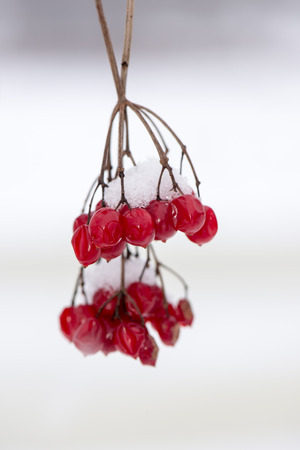 red berries in the snow with frost and blur background