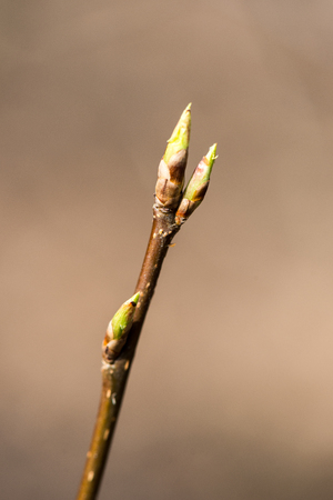 Twig with spring buds on dark background