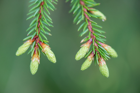 young spring spruce tree blossoms on green background in wet forest