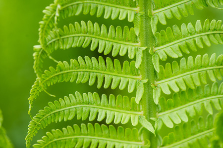 unaffected: young spring fern leaves on green background in wet forest