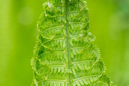 young spring fern leaves on green background in wet forest
