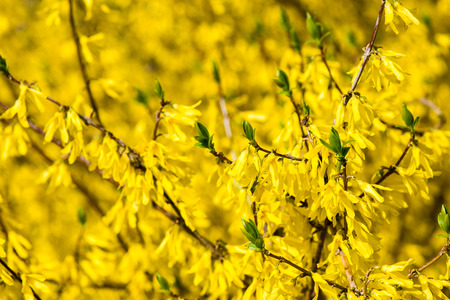 yellow spring flowers on green background with plants and braches