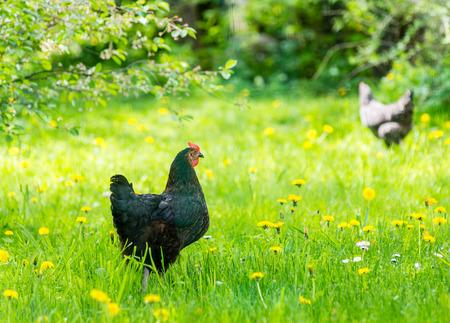 Home farm chicken in green grass in summer