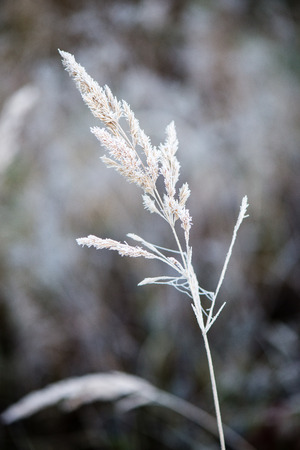 frosty grass in winter in cold morning Stock Photo
