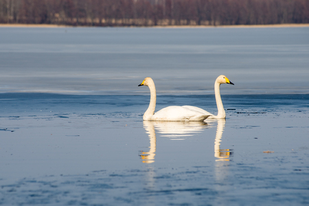 swan on lake water in sunny day, swans on pond.